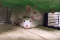 A pile of rats