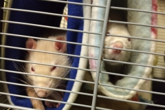 Rats in the tubes