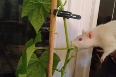 Ronnie checking on the growing cucumbers