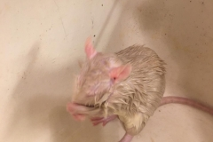 Grooming while wet after being washed