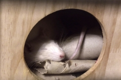 Sleepy rat with his toilet roll tubes