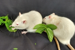 Ronnie and Derek enjoying some mint leaves