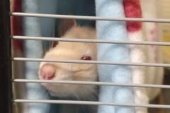 Rats riding the tube