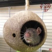 Jack hanging around in the coconut shell, Apr 2021