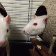 Ronnie and Derek as rat bookends, Mar 2019