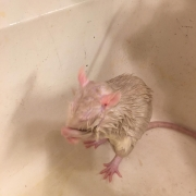 Grooming while wet after being washed, Mar 2019