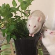 Derek eating some mint leaves, Apr 2019