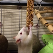 Ronnie eating the carrot nibble stick, Apr 2019