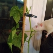 Ronnie checking on the growing cucumbers, Apr 2020
